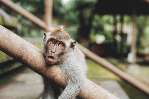 scimmia Kenya